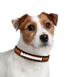 Cleveland Browns Leather dog collar on pet